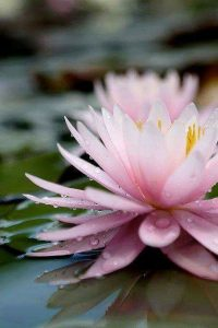 The mystic word MYO to denote the lotus flower which flowers and seeds at once p...