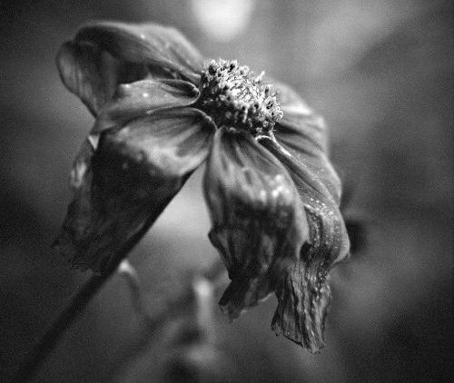 THE WILTING.