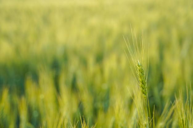wheat-farm.jpg